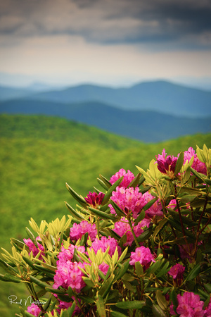 Rhododendron at East Fork Overlook on the Blue Ridge Parkway